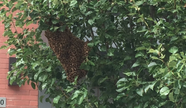 BEE ON THE LOOKOUT: Swarm of Honey Bees Reported in Hoboken