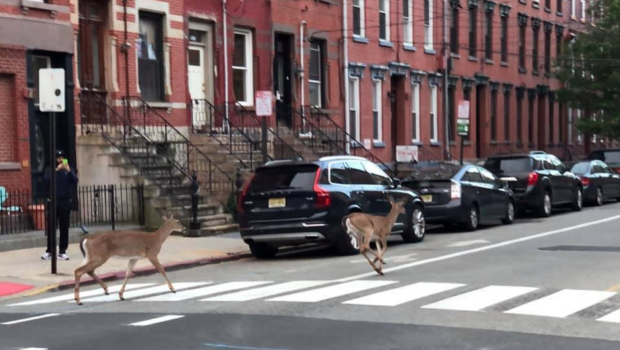 DAWN OF THE DEER: Resident Spots Doe Duo Hoofing It Through Hoboken